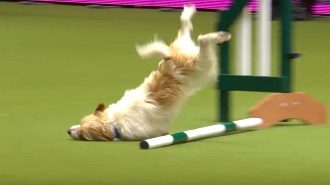 Jack Russell Wins The Internet With Hilarious Dog Show Fail