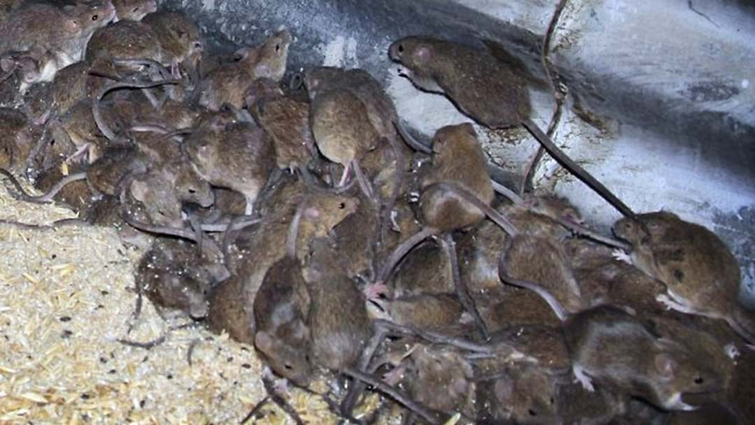 These Adelaide Suburbs Have Got A Pretty Bad Mice Infestation