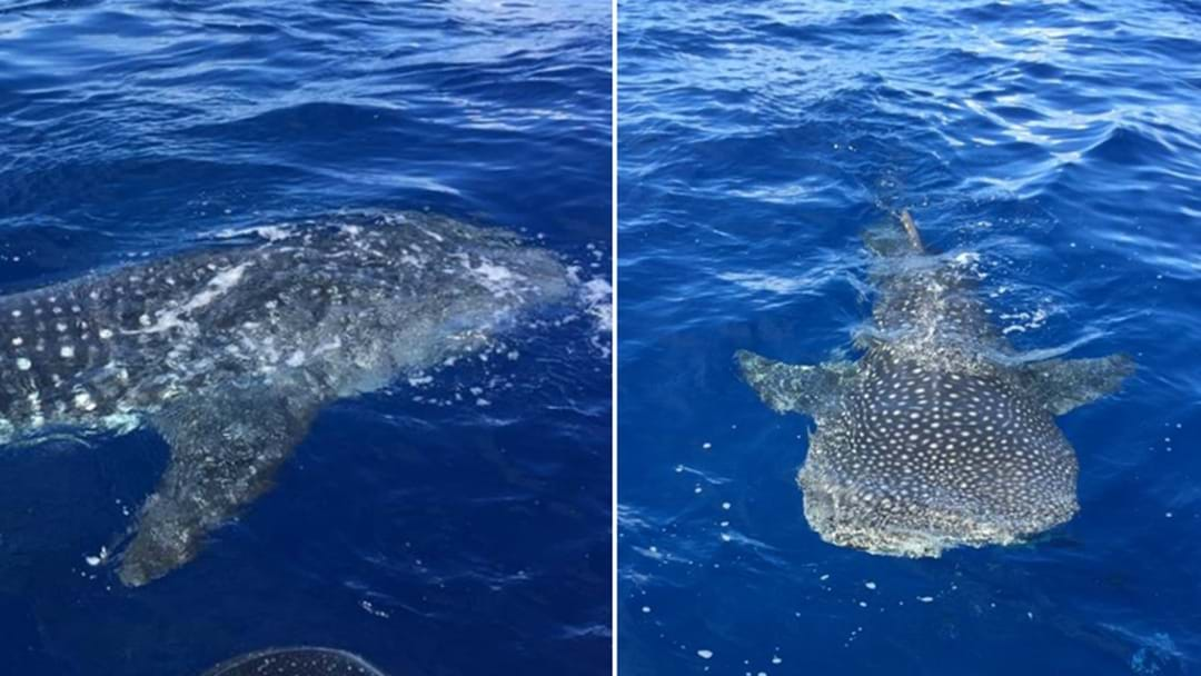 PHOTOS: Rare Whale Shark Spotted Off Hunter's Coast