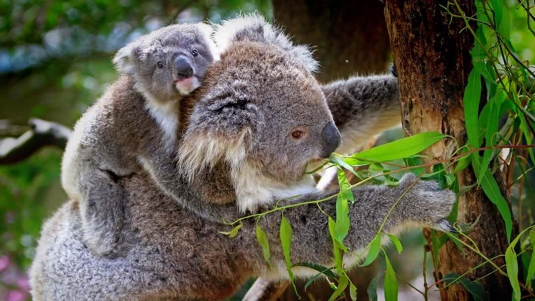 Residential rezoning for Bonny Hills koala habitat knocked back