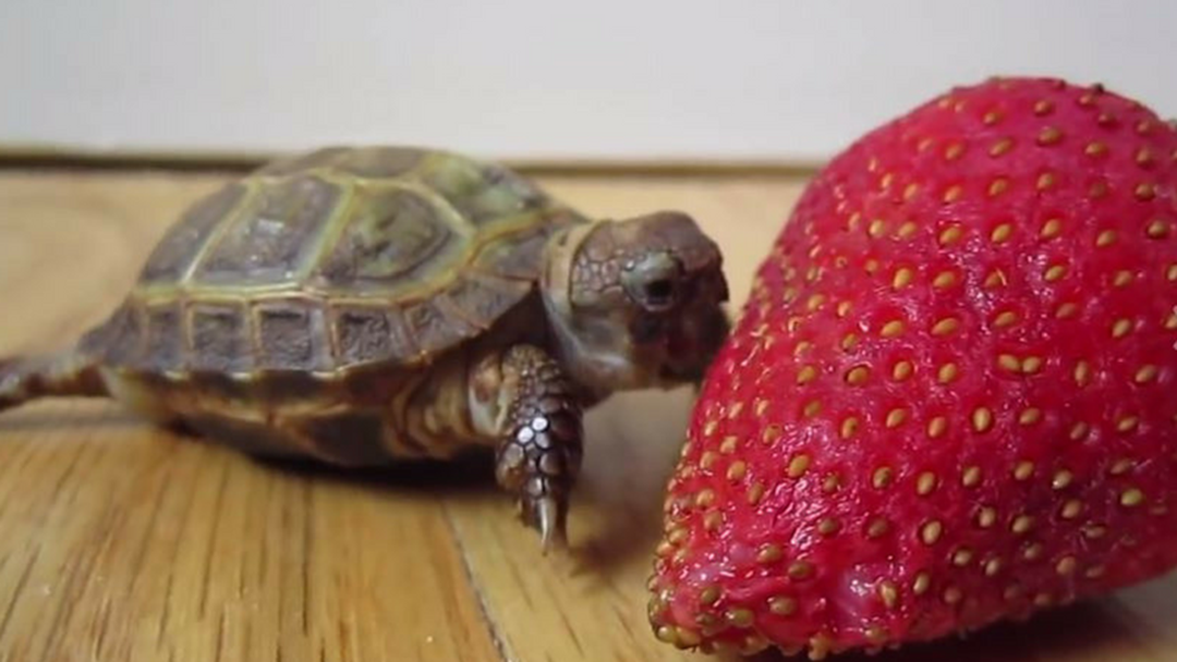 Turtle Eats Strawberry