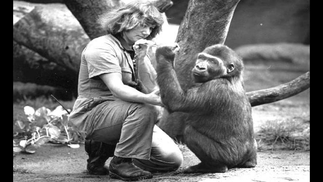 Much Loved Melbourne Gorilla Dies