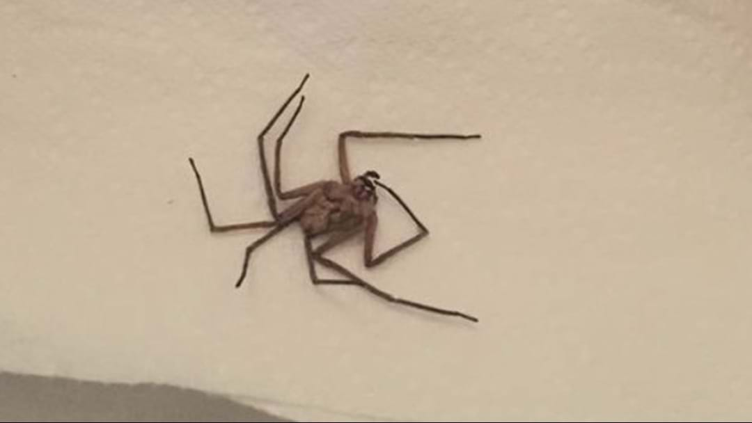 """Monster"" Aussie Spider Freaks Out American Mum"