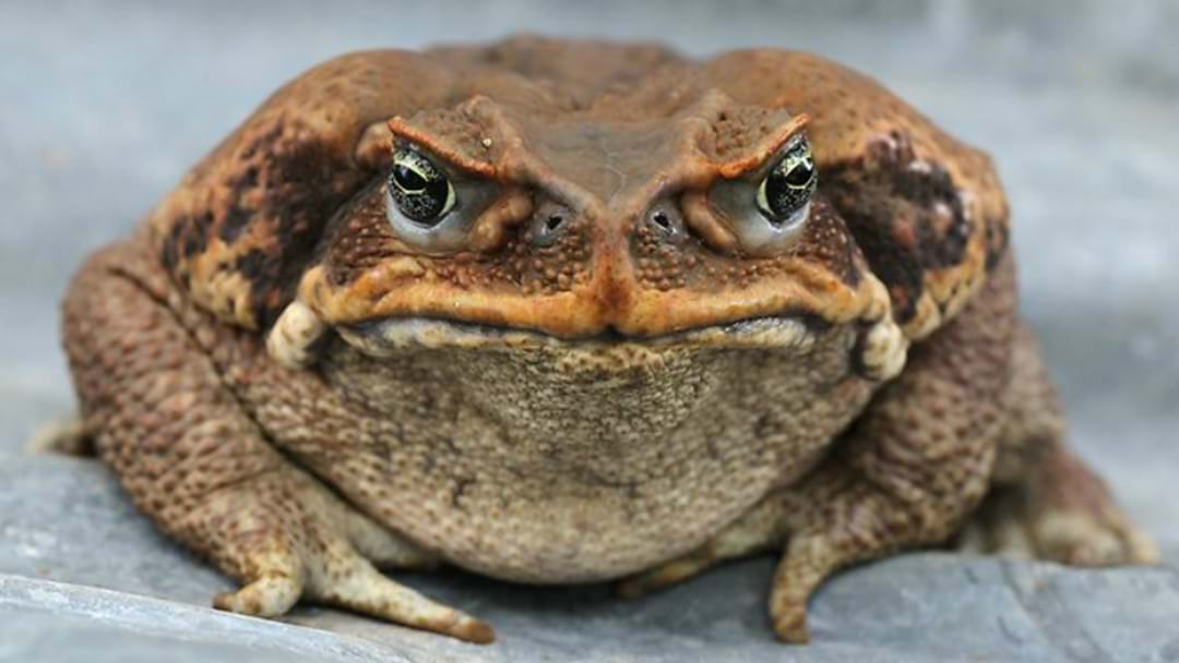 Cane Toad Spotted In Port Stephens