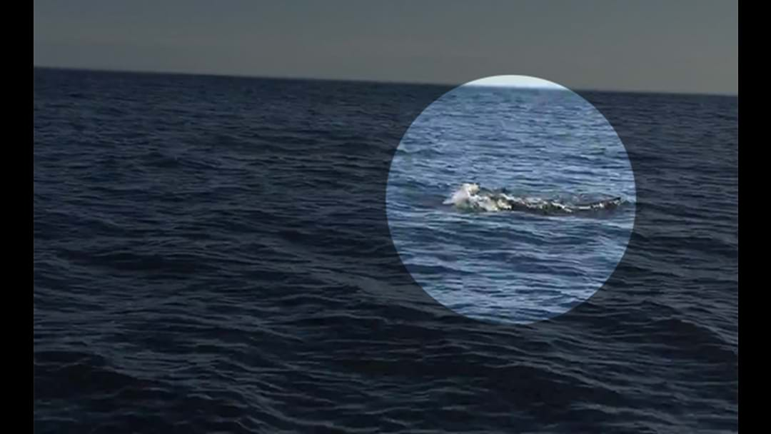 Victorian Blokes Film Amazing Wildlife Encounter Off The Coast Of Phillip Island