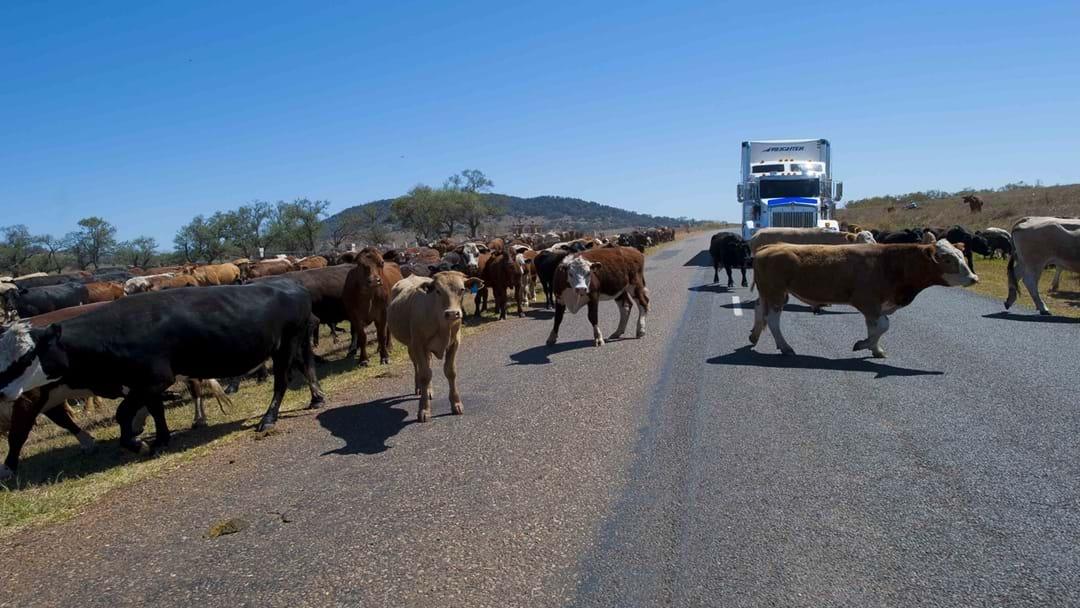 Cattle Truck Rollover Charlton