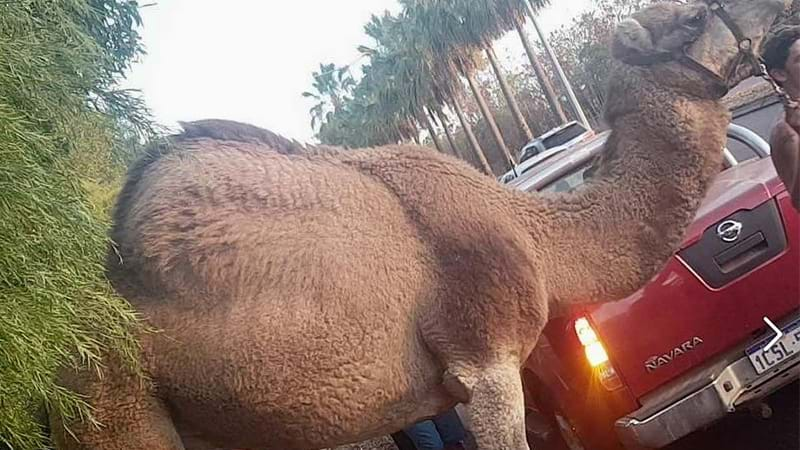 Article heading image for Escaped Circus Camel Causes Absolute Traffic Chaos In Darwin