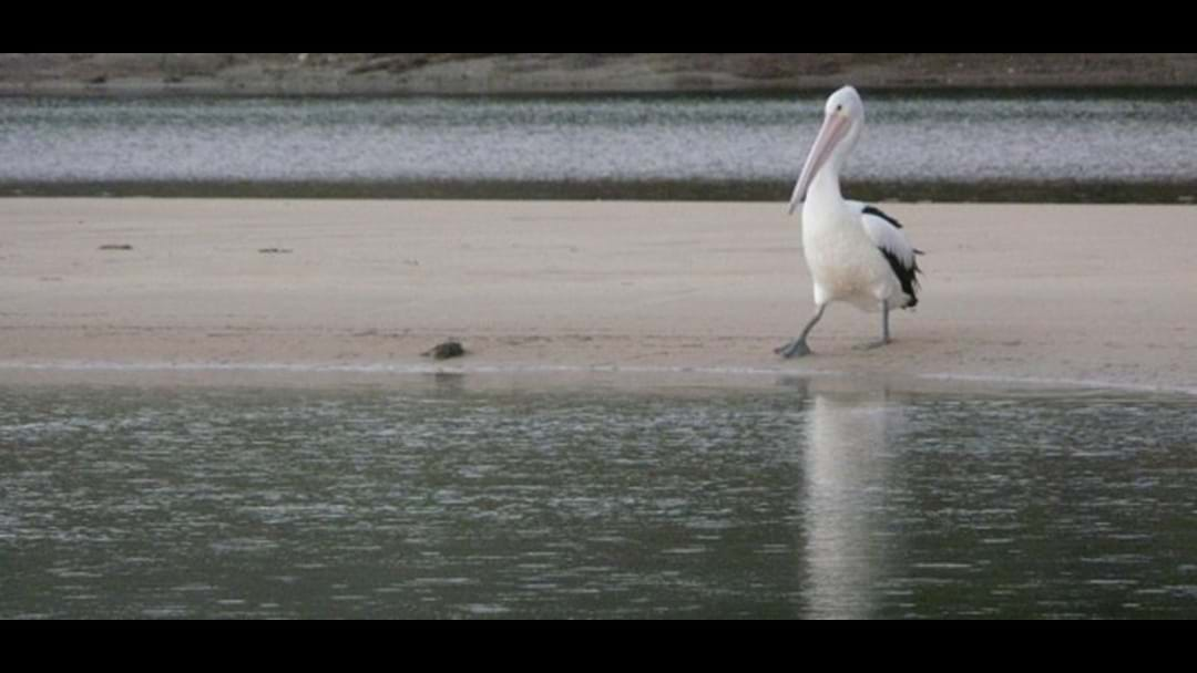 Pelican Dies After Getting Kicked And Stomped On