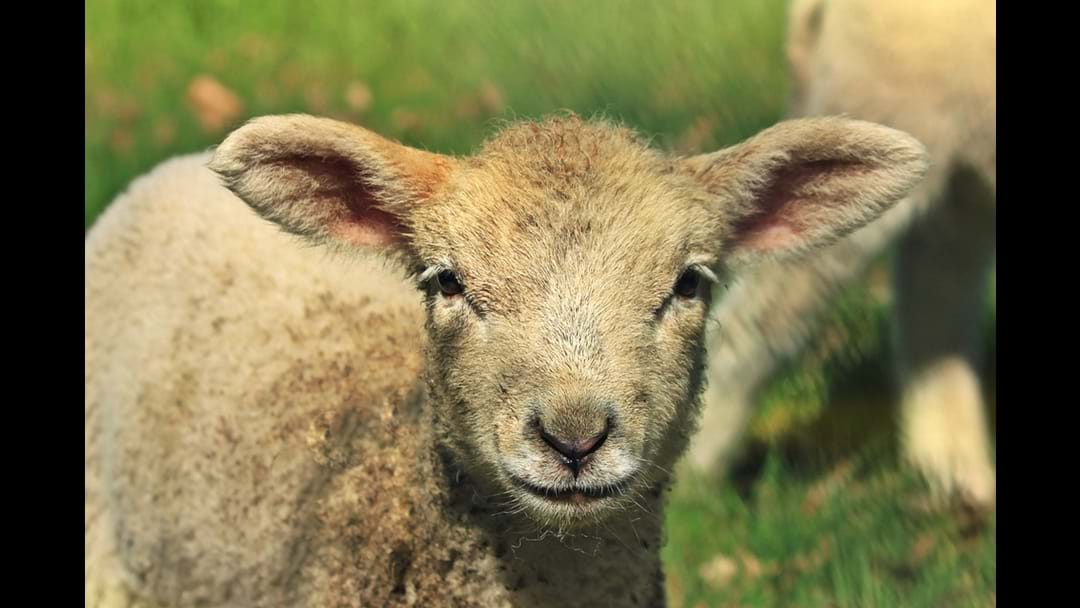 Sheep farmer fined for sheep cruelty