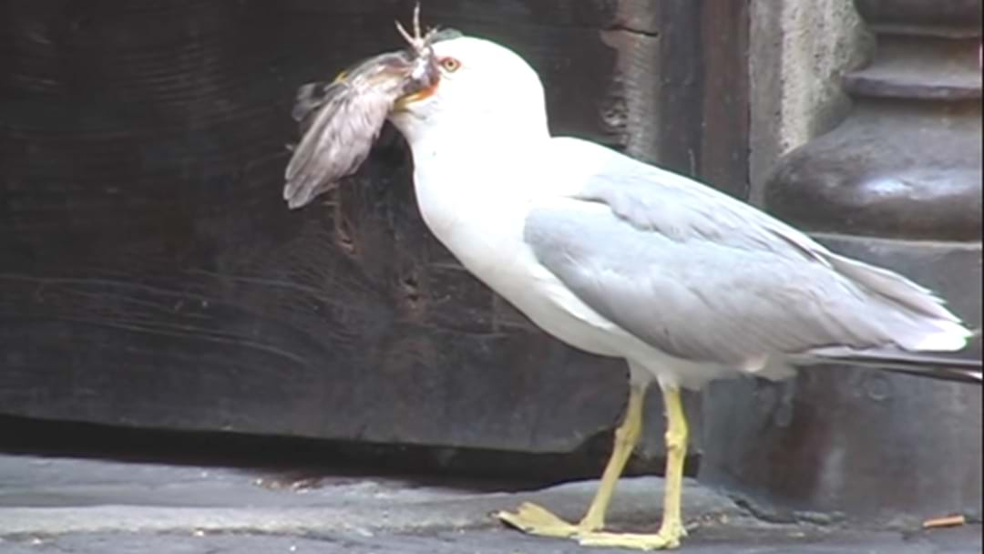 Murdering Cannibalistic Seagulls Are Taking Over A Major European City