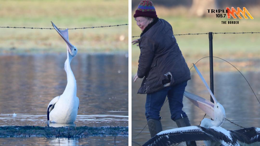 Rutherglen woman cops a a few pelican BITES in rescue!