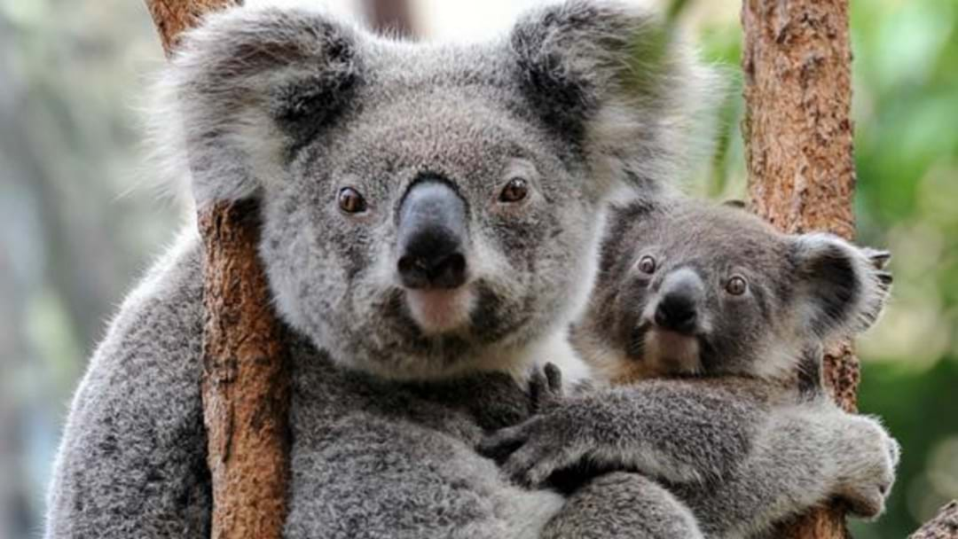 Tragic Weekend For Port Stephens Koalas
