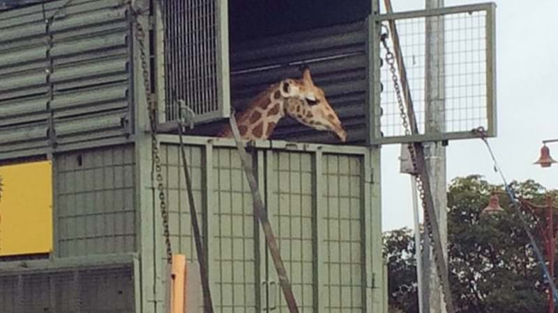 Perth's New Giraffe Stretches Her Legs After Journey