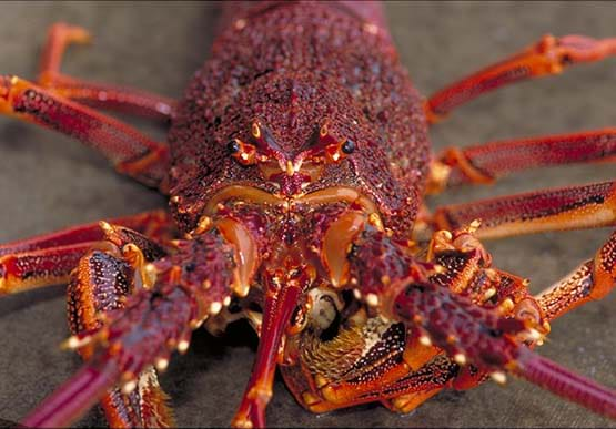 how to catch southern rock lobster