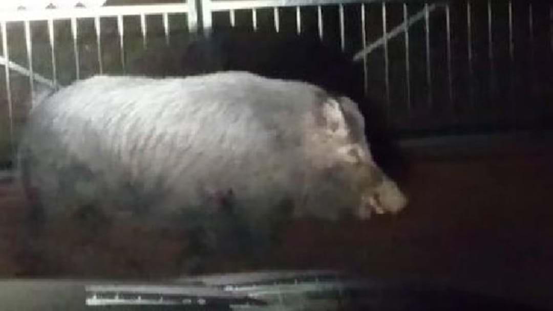A Wild Pig 'Has Been Roaming Around Penrith'