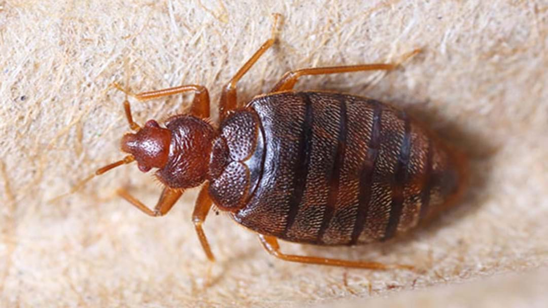 Bed Bugs Are Loving The Smell Of Your Dirty Laundry