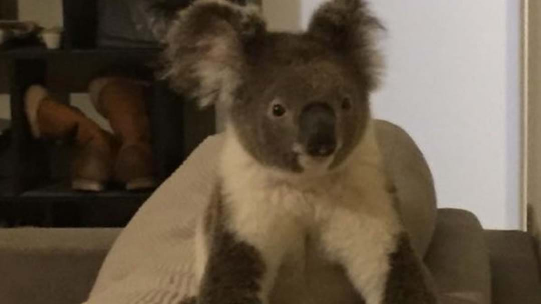 Resident Wakes Up To Koala Casually Chilling On Sofa