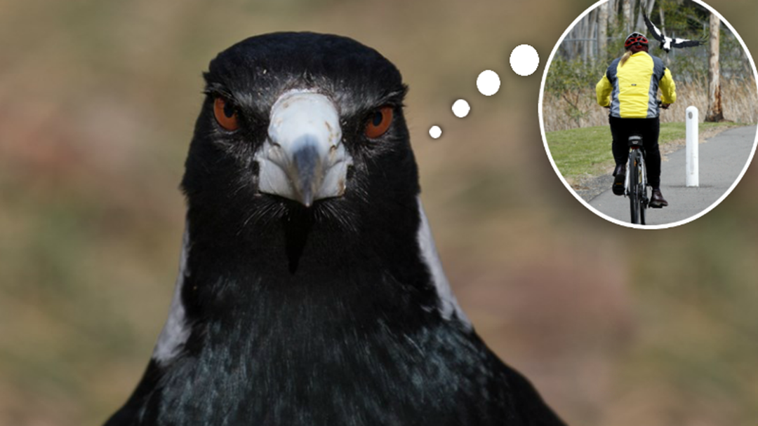 REVEALED: Melbourne's Magpie Swooping Hotspots