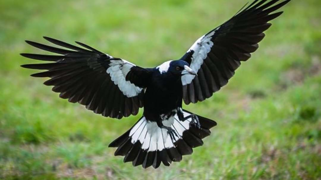 The Hunt For Lake Mac's Magpie Killer
