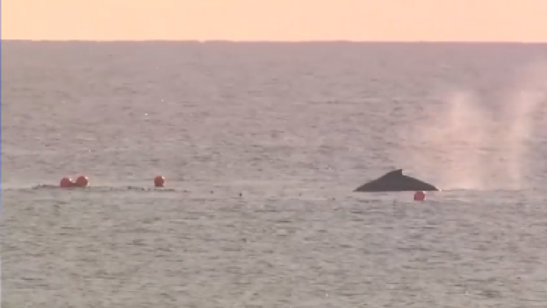 Two whales stuck in shark nets
