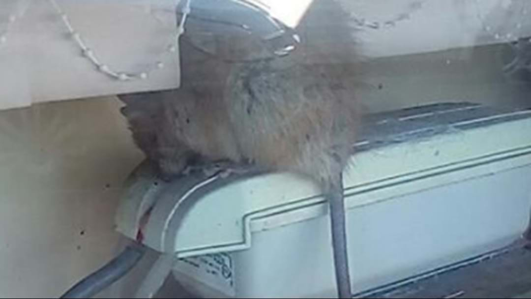 A Giant Rat Has Been Exterminated In A Sydney Restaurant