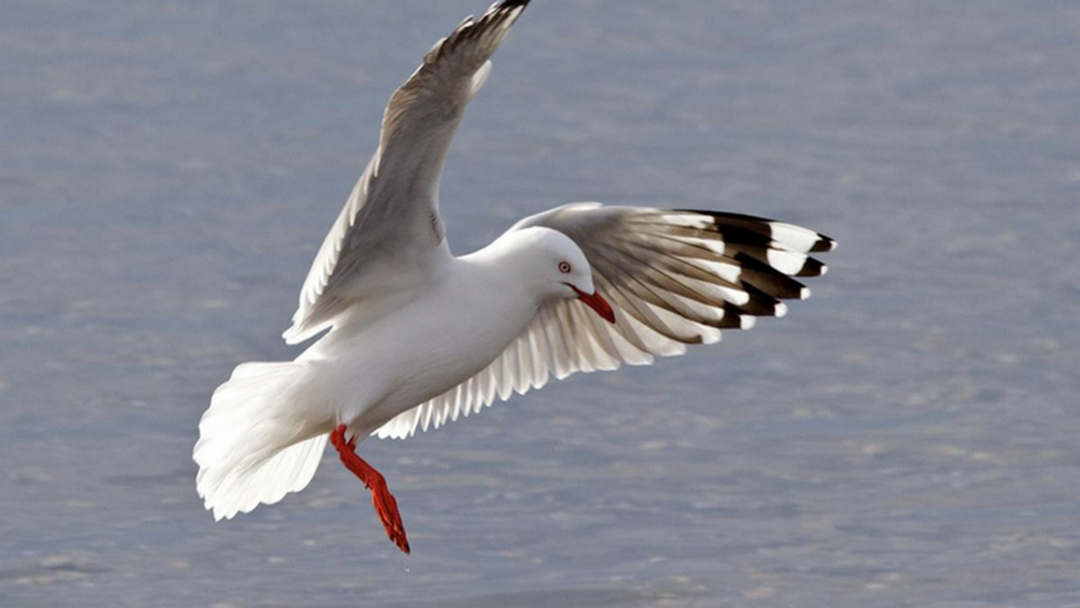 New Zealand Seagull Found on Coffs Coast