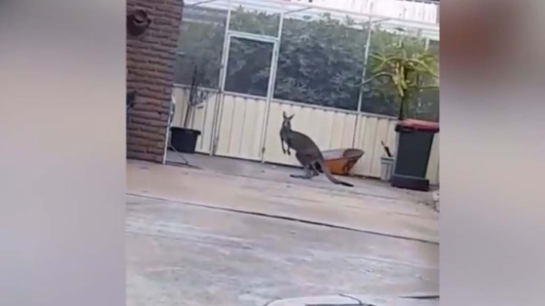 Kangaroo Spotted Casually Hopping On Suburban Street