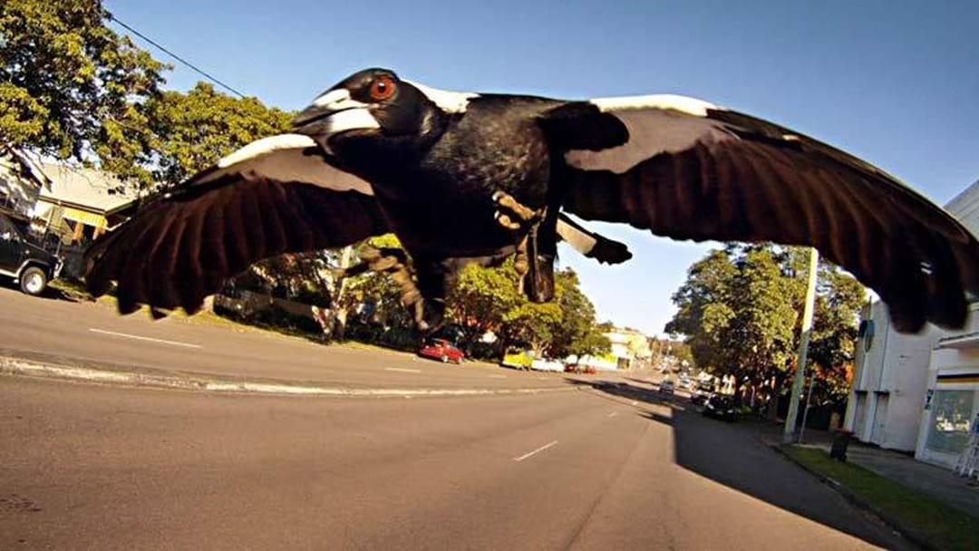 Is It Okay To Kill The Magpie Terrorising Bright?