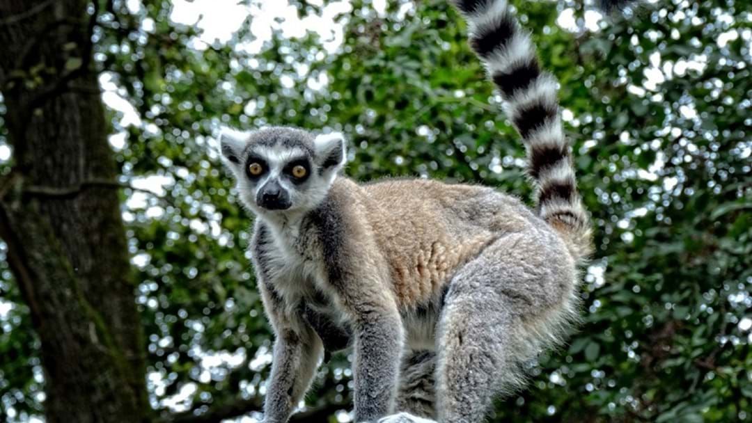 Walk with the lemurs at Currumbin Wildlife Sanctuary