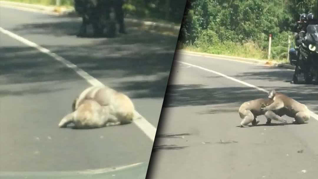 Check Out This Video Of Koalas Punching On In The Road
