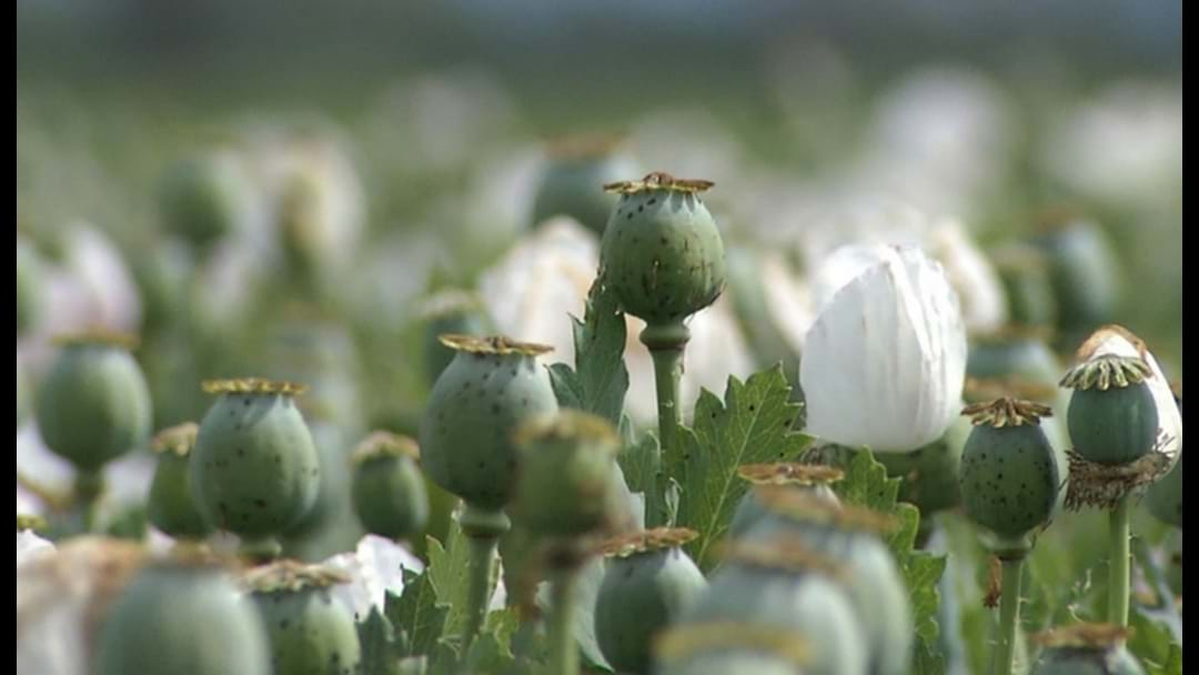 Poppy crop tipped to double after a successful year