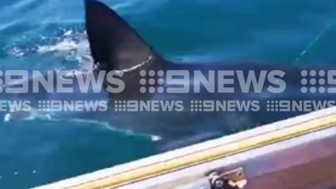A GINORMOUS Shark Has Been Spotted Swimming Next To This Family's Boat