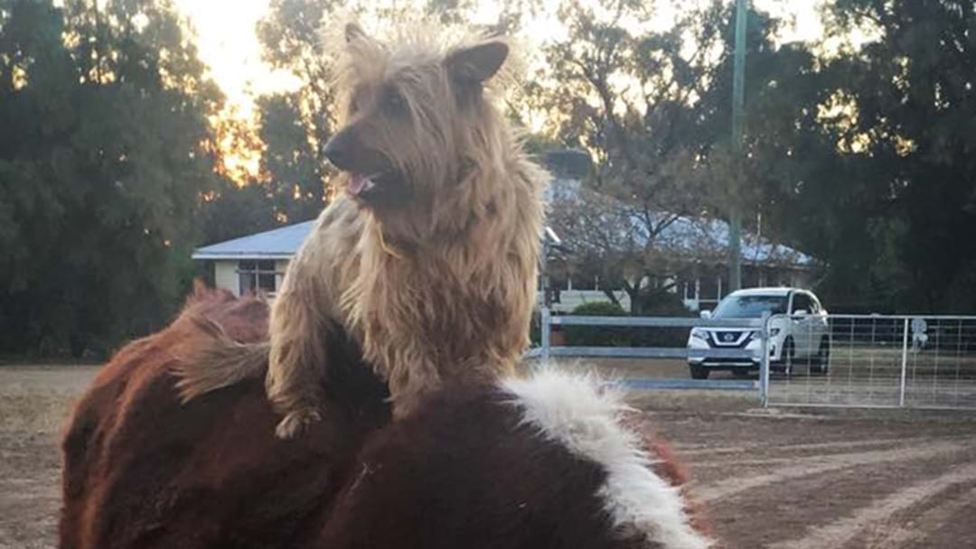 A Dog Hitchhikes 1500KM To SA And Is A Bloody Legend