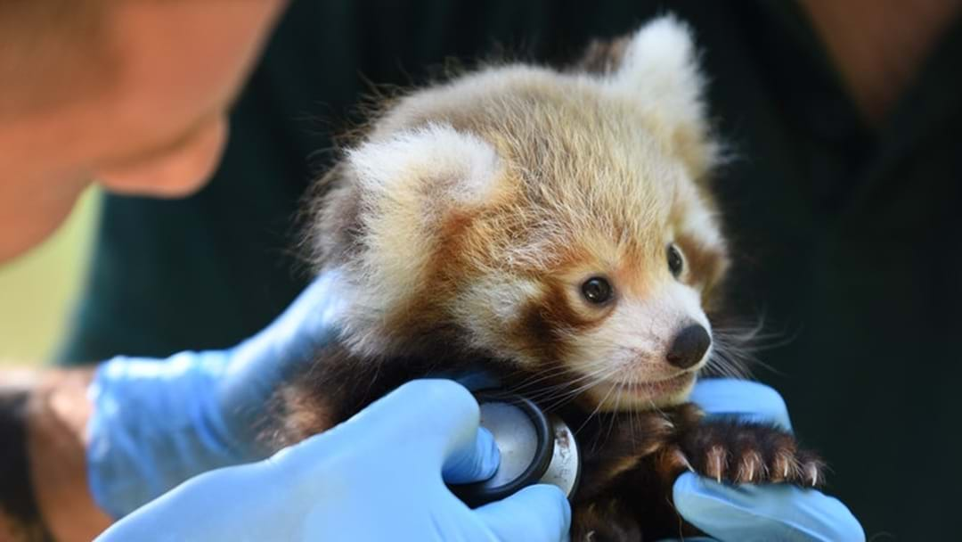 Red Panda Cub Gets His First Check-Up