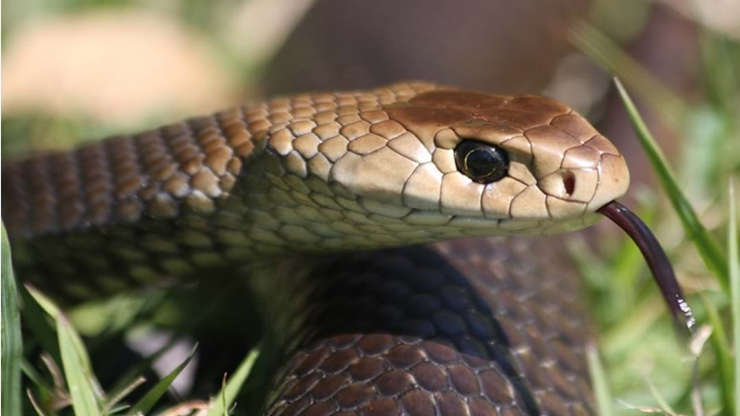 "Toowoomba Snake Catcher is Urging Locals: ""Don't Be A Hero"""