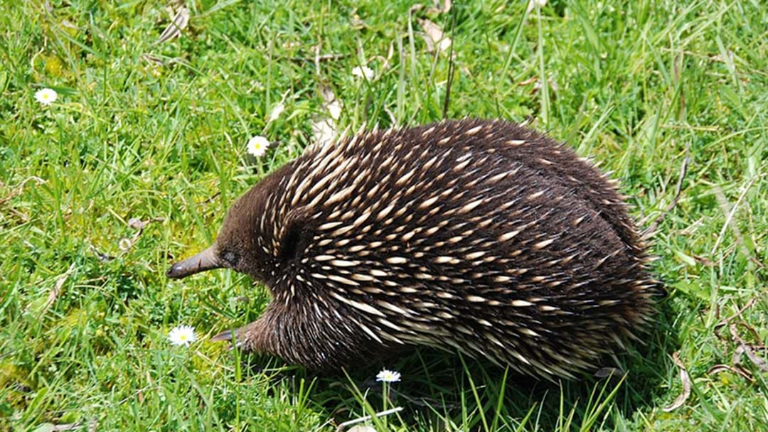 Police Respond To A 'Prickly' Echidna Situation