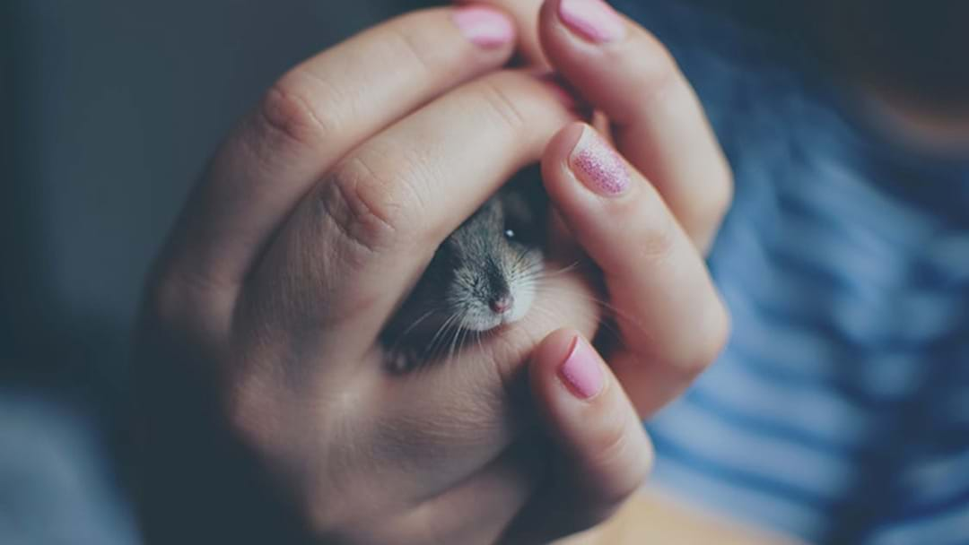 Airline Denies Making Student Flush Pet Hamster Down The Toilet