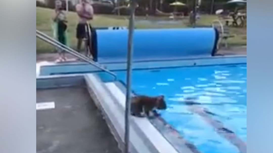 Koala Crashes Local Water Aerobics Class