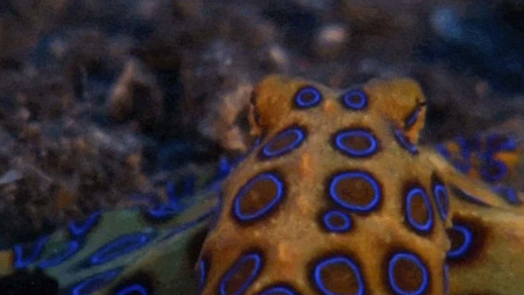 Deadly Blue-Ringed Octopus Spotted At Popular Adelaide Beaches