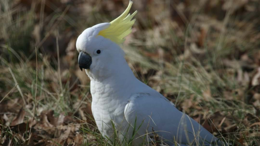 MYSTERY: 100 Dead Cockatoos Found In Hunter Valley Paddock