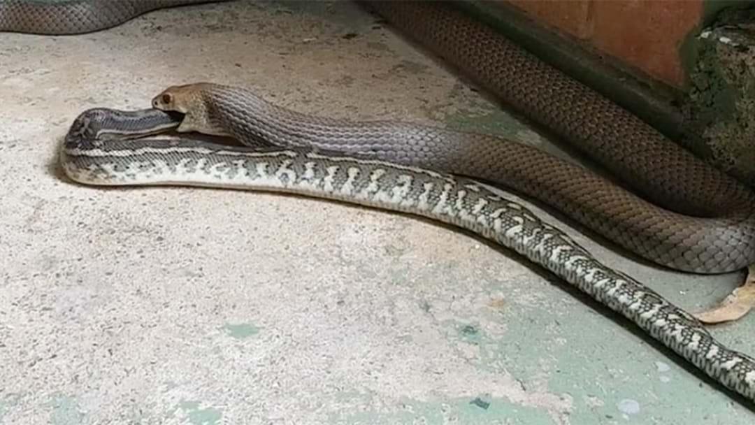 Brown Snake Filmed Eating Carpet Python