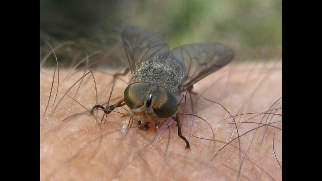 March Fly Warning for Northern Goldfields
