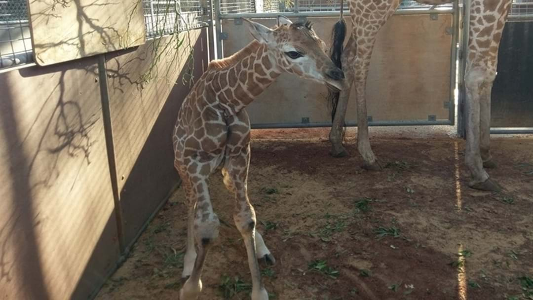 Look At Perth's Newest Zoo Baby
