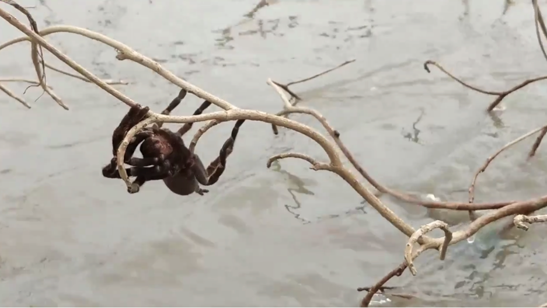 Tarantula The Size Of A Bread Roll Lives To See Another Day During Queensland Floods