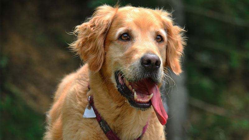Article heading image for A Labrador & Golden Retriever Dog Party Is Happening On Saturday!