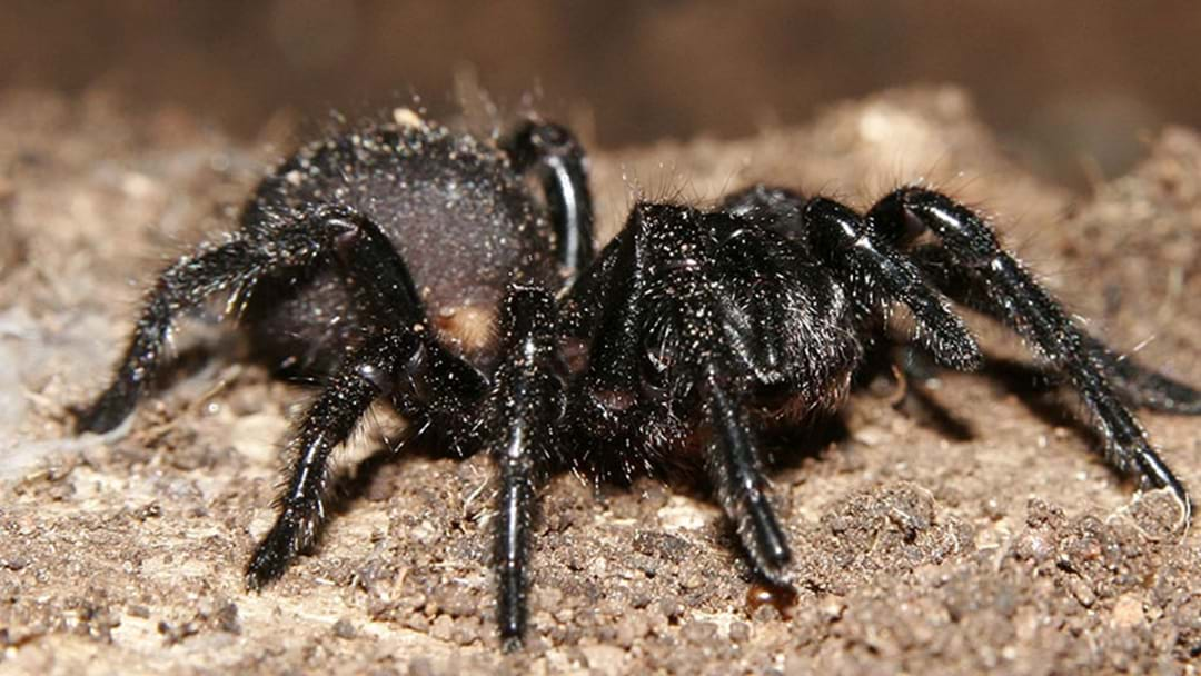 Woman Bitten By A Funnel-Web Several Times While In Bed