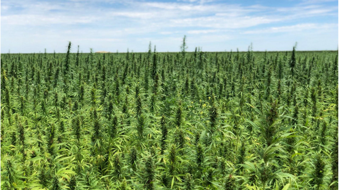 Check Out The First Harvest Of Aussie Grown Hemp Seed In Griffith