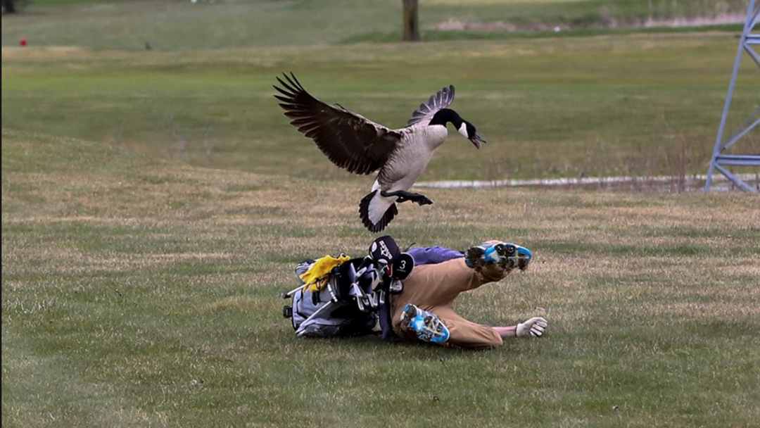 Golfer Stacks It After Coming A Cropper With Two Geese During Tournament