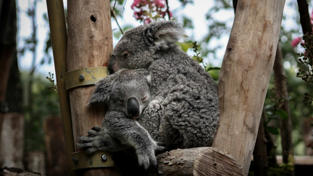 Port Macquarie Koala Hospital Releases Radio Collared Koalas