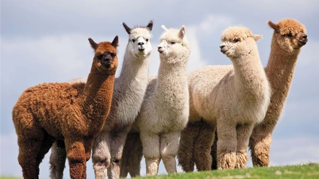 Police Continue to Appeal for Public Assistance as Investigation into Two Separate Alpaca Shooting Incidents Continues